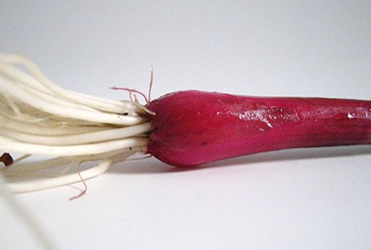 A striking bunching onion with a deep red-purple color.<br />