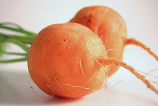 Parisian market type carrot. Small, round shape. Excellent pickled.<br />